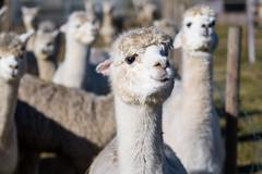 Feeding time (Ivan Mæland) Tags: sky animal alpaca norway øyslebø norge alpakka