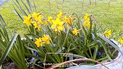 Mini-Daffs flowering on balcony floor 15th March 2019 001 (D@viD_2.011) Tags: minidaffs flowering balcony floor 15th march 2019