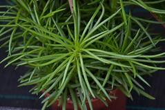 Senecio archeri Himalaya (douneika) Tags: senecio archeri himalaya taxonomy:family=asteraceae taxonomy:binomial=senecioarcheri