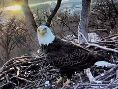 Eagle - M5 - 3-10-2019 (18) (THE Halloween Queen) Tags: eagles eagle wildlife bald baldeagles nationssymbol patriotic