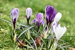 EN8A5119 (Karin Michies) Tags: botanischetuinen botanischetuinenutrecht universiteitutrecht utrechtuniversity botanicalgardens bloemen flowers natuur nature krokus crocus