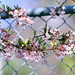 fence friday (Sue Elderberry) Tags: fence friday virburnum sunshine spring blooming blossoms winterschneeball wintersnowball