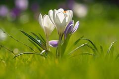 Riesen Krokusse (KaAuenwasser) Tags: riesenkrokusse krokusse krokus wiese rasen blüten blüte blume makro frühling sonne licht weis park garten anlage