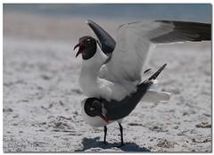 Laughing Gulls (Betty Vlasiu) Tags: laughing gulls leucophaeus atricilla bird nature wildlife florida