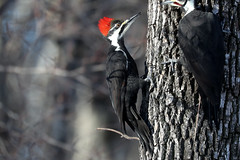 Pileated Woodpecker (mobull_98) Tags: pileatedwoodpecker woodpecker