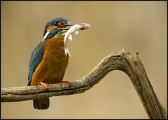 Kingfisher (Craig 2112) Tags: kingfisher alcedoatthis wild bird fish lincolnshire