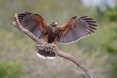 Harris's Hawk (tspine) Tags: santaclararanch texas harrisshawk