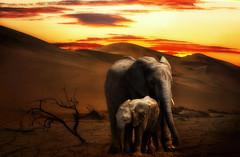 Siblings (brian_stoddart) Tags: nature namibia sunset desert dunes elephant relatives wildlife wildanimals light tones