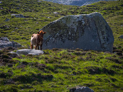 Please Don't Leave Me (RS400) Tags: cow scottish scotland landscape stone grass cool wow amazing travel up north lewis harris isle animals meat food olympus photography holiday