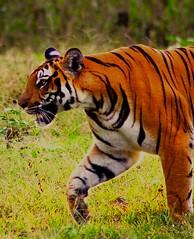 Take it in your Stride (roshan41182) Tags: tigress tiger roshan41182 roshan pentaxk70 pentax tamron tamron70300mm kabini forest wildlife jungle karnataka