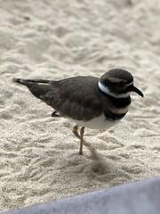 Killdeer (sarahstierch) Tags: birds aviary rescue animal montereycounty monterey bay aquarium sanctuary bird birding shorebirds killdeer