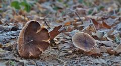 Gordijnzwam - Cortinarius torvus (old and frozen !) (henkmulder887) Tags: gordijnzwam cortinariustorvus paddenstoel mushroom pilze champignon drenthe winter januari vorst bevroren frozen bruin