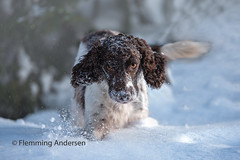 Running in snow (Flemming Andersen) Tags: snow dog spaniel outdoor zigzag cocker nature animal trojanovice moraviansilesianregion czechrepublic cz