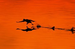 Taking off (Lux Populi) Tags: gallinulachloropus commonmoorhen wildlife bird nature wetlands sunset pond backlighting silhouette birdtakingoff reflexes
