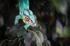 37.Camaleón Pantera (Fuecifer pardalis)🐉 (Manupastor43) Tags: camuflaje verde reptil animal viaje genova camaleon naturaleza 50mm 200d eos canon