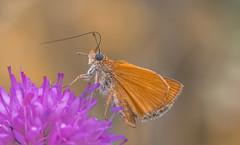 Hesperiidae (Torok_Bea) Tags: hesperiidae busalepke lepke butterfly nikon nikond7200 natur nature nationalpark nikond sigma sigma105 sigmalens sigma105mm summer beautiful bokeh wonderful macro croatia