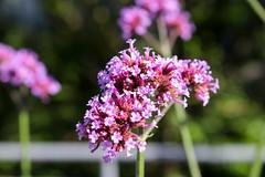 Vacances_0825 (Joanbrebo) Tags: mainau konstanz badenwürttemberg de deutschland flors flores flowers fiori fleur blumen blossom canoneos80d eosd autofocus