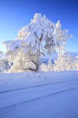 Sunlit, Snowcovered Trees (K M V) Tags: tykkylumi tykkylunta puu träd arbre albero alberi arbol tree baum bäume