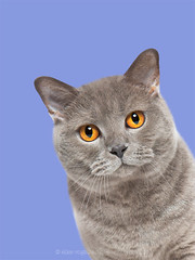 Amber eyes (Wieselblitz) Tags: cat cats catphotography catportrait portrait portraitpet feline felineportrait studio studiocat studiocatportrait catitude directeyecontact direct amber ambereyes beauty pet pets petphotography petportrait petphotographer