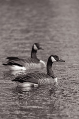 Pair of geese (scottryantucker) Tags: sony 100400 a7riii a7r3 geese goose canadian cackling pond nature birds water black white animals