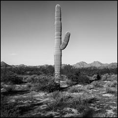 Hoshtsoh (greenschist) Tags: usa sonorandesert mountains blackwhite arizona saguaro pinalcounty carnegieagigantea santanmountainregionalpark