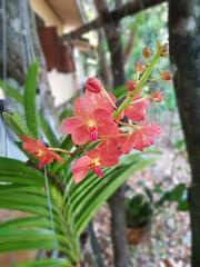Vanda sp. Orchidaceae - orange vanda orchid 8 (SierraSunrise) Tags: epiphytes esarn flowers hanging hangingplants isaan nongkhai orange orchidaceae orchids phonphisai plants thailand