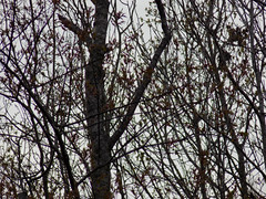 Branches. (dccradio) Tags: lumberton nc northcarolina robesoncounty outdoor outdoors outside nature natural march thursday evening goodevening thursdayevening sky cloudy overcast tree trees treebranch branch branches treebranches treelimb treelimbs scenic nikon coolpix l340 bridgecamera
