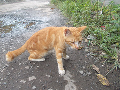 Brown male cat on the street (herue017) Tags: cat cats kitty male animal pet pets street road outdoor object meow life whisker claw tail kitten grass cute cutecat foliage standing stand nopeople background asia indonesia female
