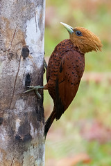 Chesnut Coloured Woodpecker (ToriAndrewsPhotography) Tags: chesnut coloured woodpecker laguna del lagarto costa rica bird tori andrews photography birding