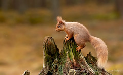 Red Squirrel (www.facebook.com/PaulSmithWildlife) Tags: wildlife nature springwatch scotland cairngorms highlands