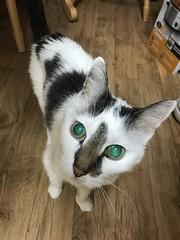 87/365/8 (f l a m i n g o) Tags: project365 365days march 21st 2019 angel cat animal pet eyes green glow 36558