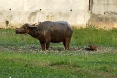 Bubalus bubalis (Linnaeus, 1758) Bovidae-water buffalo-ควาย (SierraSunrise) Tags: animals bovine calf cow esarn isaan mud nongkhai phonphisai thailand waterbuffalo