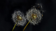 Dandelions (PhilDL) Tags: dandelion dandelions seeds seedheads nature macro lightshade light lighting shades shadows darkness darks whites blacks hues grey exposure contrast highlights vibrancy background foreground focus focalpoint flickr curves levels masking spring springtime april 2019 photography photo photograph nikon nikonuk nikond810 tamron lens 90mm fstop timing