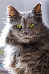 IMG_8726 (Calabrones) Tags: norwegischewaldkatze norwegischewaldkatzen katzen norweger waldkatze ka suriascatsamélie mignonbergeroswald deutschland bayern münchen haustier