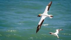 Gathering nest material (Stefan Marks) Tags: tasmansea animal australasiangannet bird flying gannet morusserrator nature ocean outdoor aucklandwaitakere northisland newzealand