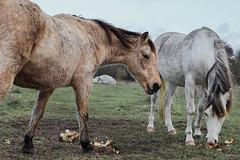 IMG_0342 (Mathieulegall) Tags: brest canonfrance canonm50 meneham kerlouan horse cheval mer paysage soleil finistere bretagne