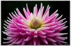 Pink Dahlia Flower Macro (Bear Dale) Tags: pink dahlia flower macro nikon d850 nikkor afs micro 105mm f28g ifed vr ulladulla southcoast new south wales shoalhaven australia beardale lakeconjola fotoworx milton nsw nikond850 photography framed nature flores fluers