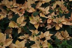 DSC00644- Peach Leaves (oliveplum) Tags: poinsettiawishes2018 leica60f28macro peach gardensbythebay flowerdome flickrtravelaward sony singapore bokeh marinabay