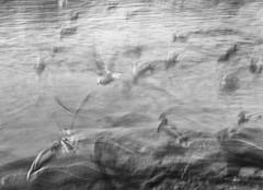 *** (krøllx) Tags: bw icm nikc abstract abstractmovements akamphotowalk akamtreff birds blackandwhite blackwhite europe intentionalcameramovements monochrome movements nature norway photowalk scandinavia trondheim trã¸ndelag whiteblack 20190105dsc06478edit1