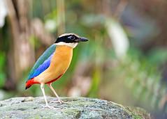Blue-winged pitta (Pitta moluccensis) (Andy_LYT) Tags: pitta pittamoluccensis bird nikon 600mm