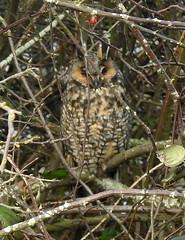 Long-eared Owl at 104th Jan 1, 2019 (EastLadner) Tags: rogers reifel 104th 72nd aldergrove
