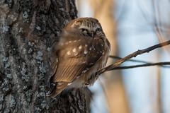 Petite Nyctale (icascidos) Tags: beautiful ngc nature beau oiseauxbirdsnaturewildlifeneige wild wildlife nyctale arbres adorable jolie marais nikon light lumière liberte