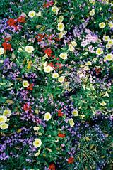 (Bárbara Lanzat) Tags: 35mm film analog mjuii kodak200 colorplus200 olympusmjuii mju2 diary filmisnotdead ishootfilm bárbaralanzat flowers