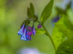 Virginia Bluebells (Bernie Kasper (5 million views)) Tags: art berniekasper blue bluebells cliftyfallsstatepark color cliftyfalls colours d600 family flower floral flowers hiking indiana indianawildflowers jeffersoncounty light leaf leaves love madisonindiana macro madisonindianacliftyfallsstatepark nature nikon naturephotography new outdoors outdoor old outside photography park plant plants photos photo raw green travel sigma spring statepark wildflower wildflowers virginiabluebells
