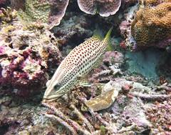 Anyperodon leucogrammicus (kmlk2000) Tags: maldives vacation sea ocean sealife sun blue underwater fish poisson beach reef