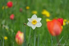 Looking forward ..... (Sockenhummel) Tags: britzergarten tulpen narzisse frühling blüte bokeh buga