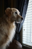 Sunny 2/52 (Lianne (calobs)) Tags: 52 weeks for dogs goldenretriever