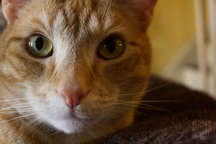 Plywood the Tabby (willceau) Tags: cat tabby orange feline kitty affinityphoto