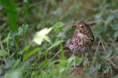 Singdrossel / Song thrush (Turdus philomelos) (uwe125) Tags: drossel animal bird thrush song
