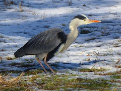 Heron in Snow2 (g crawford) Tags: heron greyheron commongreyheron bird crawford portencrossroad portencross westkilbride ayrshire northayrshire